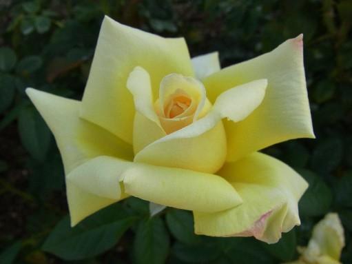 2010.10.12バラ4