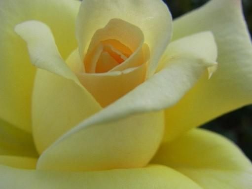2010.10.12バラ5