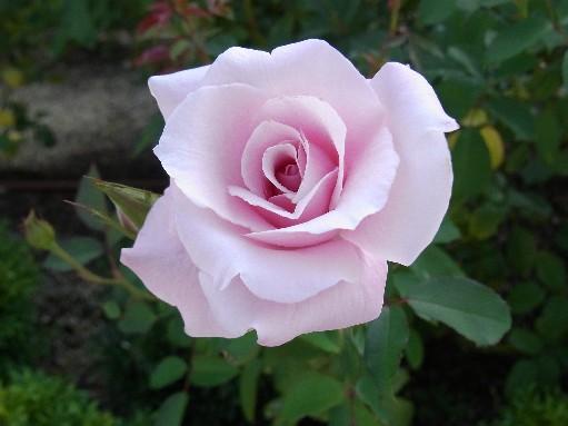 2010.10.12バラ1