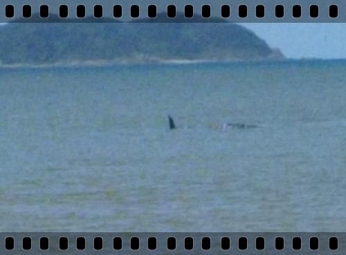 大浦の迷いクジラ1