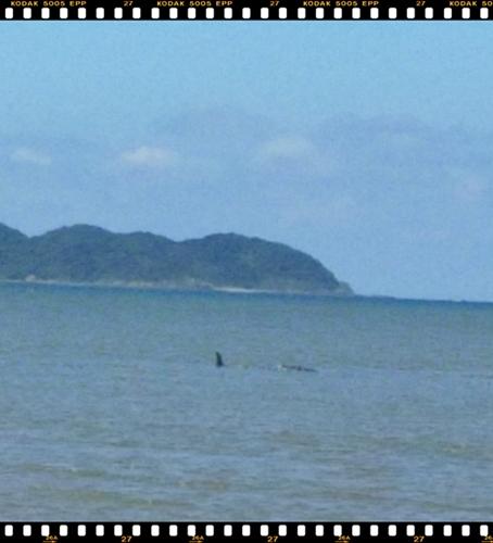 大浦の迷いクジラ2