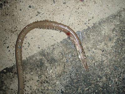 ウミヘビ325