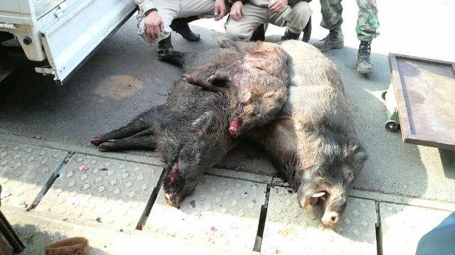 200902猪3匹