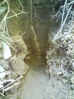 20091015山芋掘り2jpeg