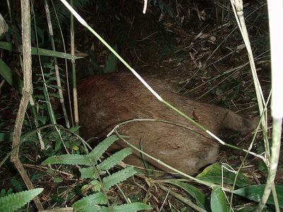 20091115初猟のイノシシ発見