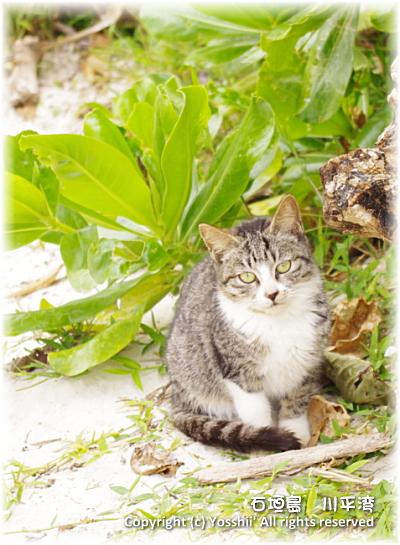 cat-ishigakijima-7.jpg