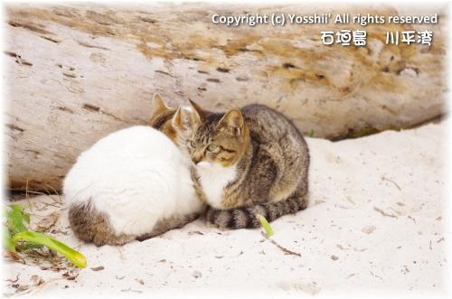 cat-ishigakijima-8.jpg