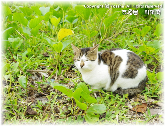 cat-ishigakijima-9.jpg