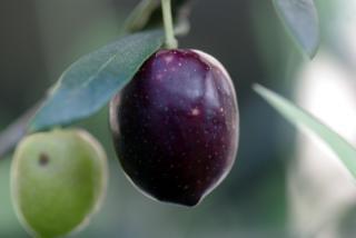 20091016_olive02.jpg