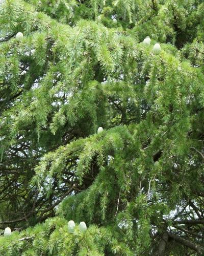 この~木、何の木♪松の木だよ~♪