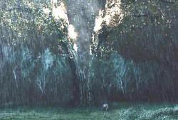 桜の樹が避ける