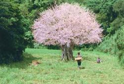 変わらず、そこにある雷桜