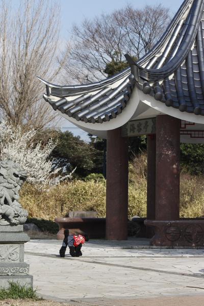3-8河津桜3