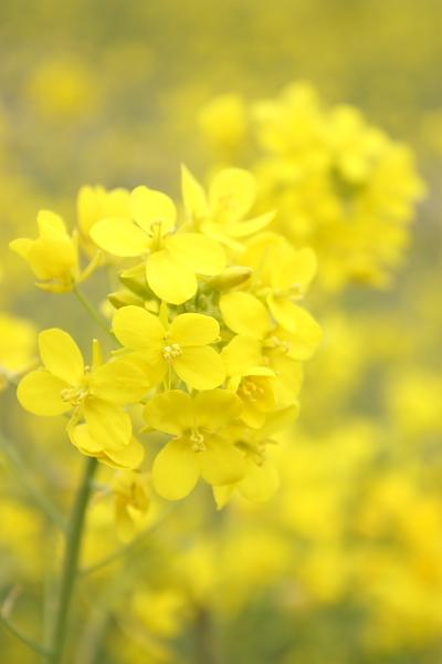 3-23利根川菜の花