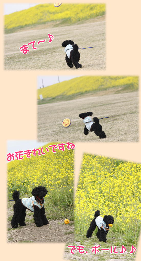 利根川菜の花