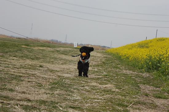 3-23利根川菜の花12