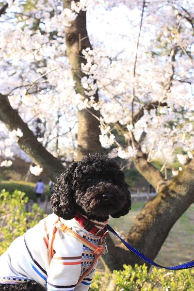 4-8華蔵寺桜5