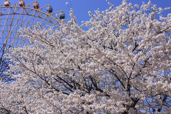 4-8華蔵寺桜