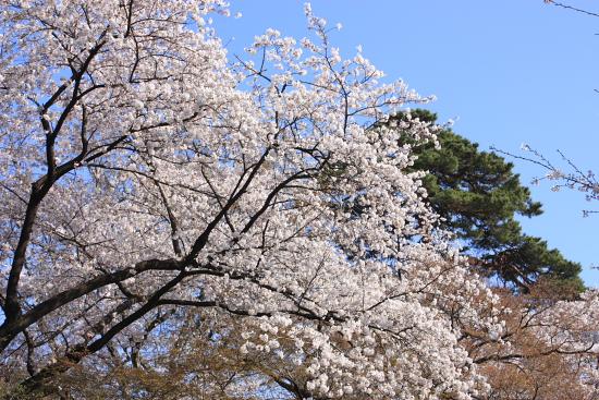 4-8華蔵寺桜2