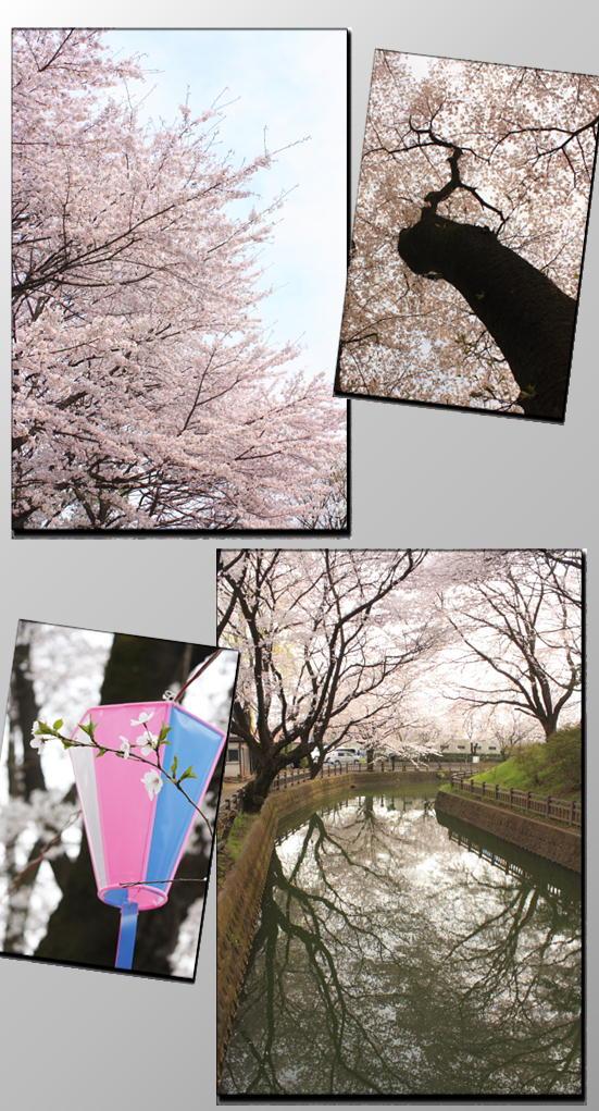 城の内の桜