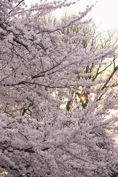 4-9城の内桜10
