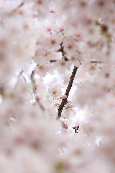 4-9城の内桜5
