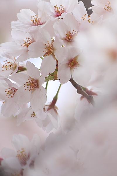4-9城の内桜4