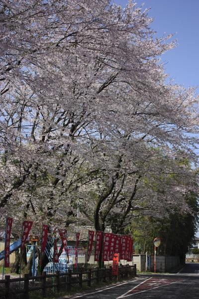 4-13松尾の桜