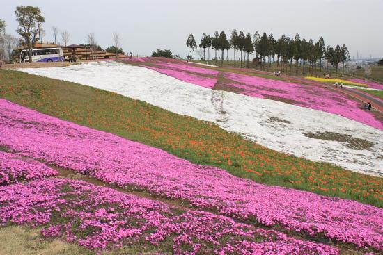 4-13芝桜