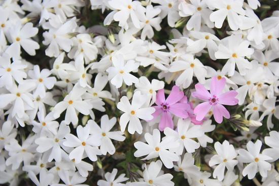 4-13芝桜9