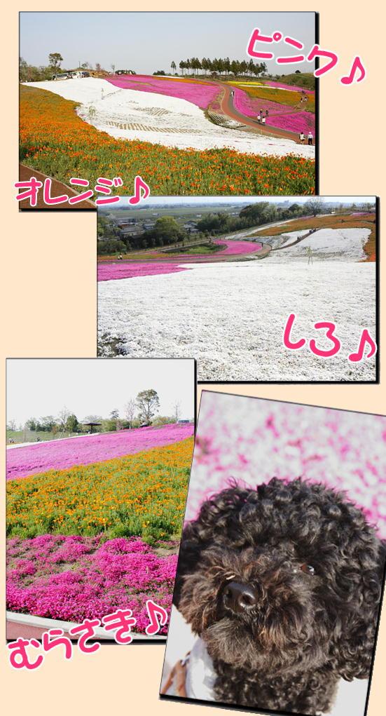 満開!芝桜2