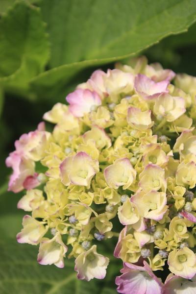 6-7紫陽花