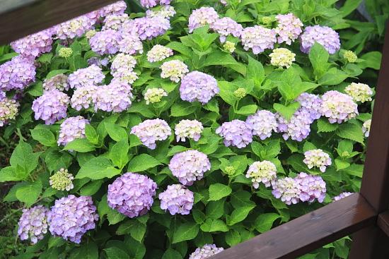 6-14紫陽花満開2