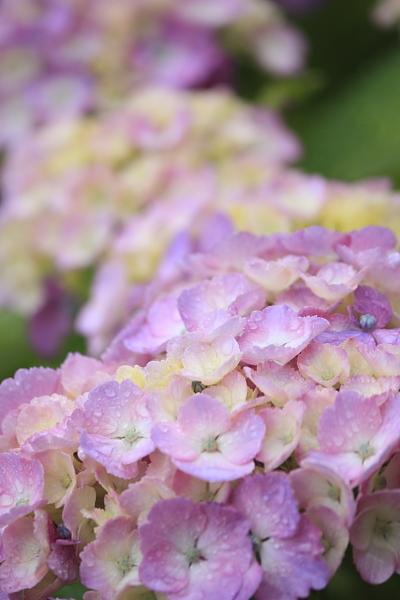 6-14紫陽花満開