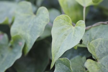 9-12芋の葉っぱ