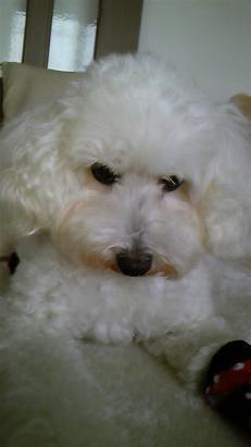 豊田市迷子犬トイプー
