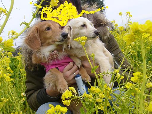 菜の花祭3