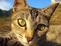 猫(ウィキより)