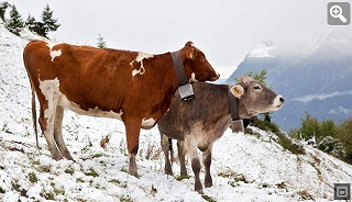 cows_austria_summer_snow.jpg