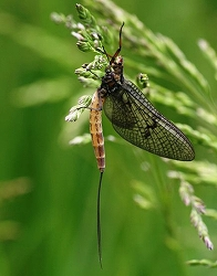 mayfly-collapse-update-climate-change_42509_big.jpg