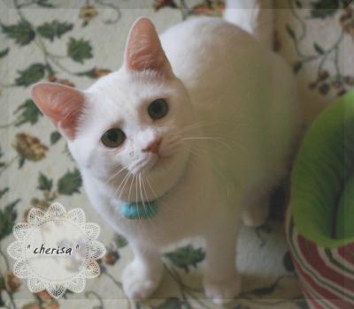 真っ白猫君(=^・ェ・^=)