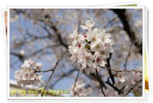 桜11-04-01