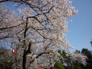 名古屋城花見2