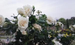 100522_バラ園8