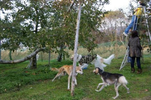 林檎狩り42