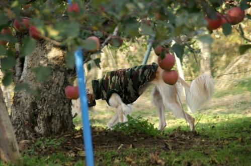 林檎狩り43