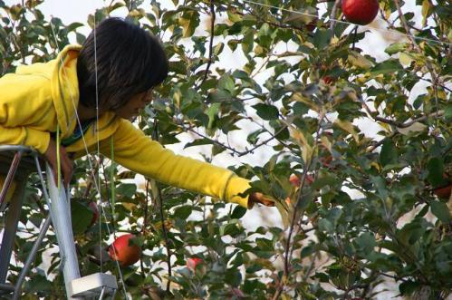 林檎狩り46
