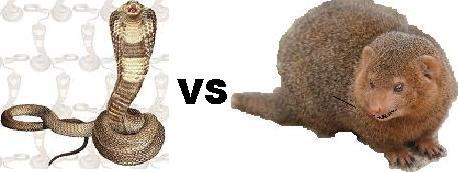 キングコブラ VS マングース