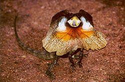 エリマキトカゲ属Chlamydosaurus_kingii