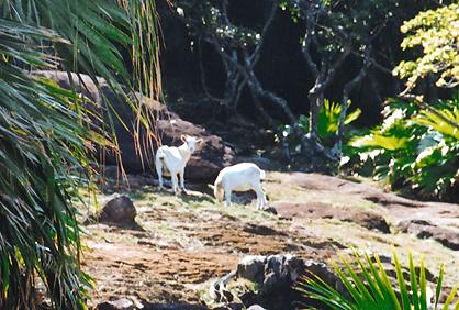 魚釣島で確認されたヤギ